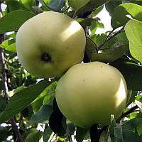 Яблоня летняя сорт Папировка