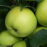 Яблоня осенняя сорт Гринсливз