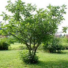 Інжир 2 річний, Инжир, Ficus carica, фото 3