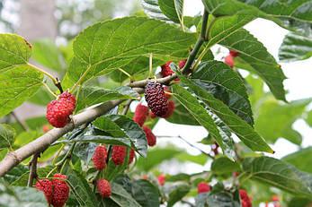 Шовковиця червона 3 річна, Шелковица красная, Morus rubrum, фото 2