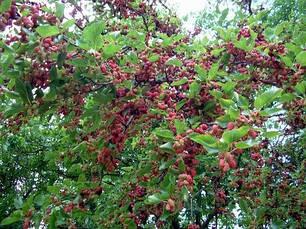 Шовковиця червона 3 річна, Шелковица красная, Morus rubrum, фото 3