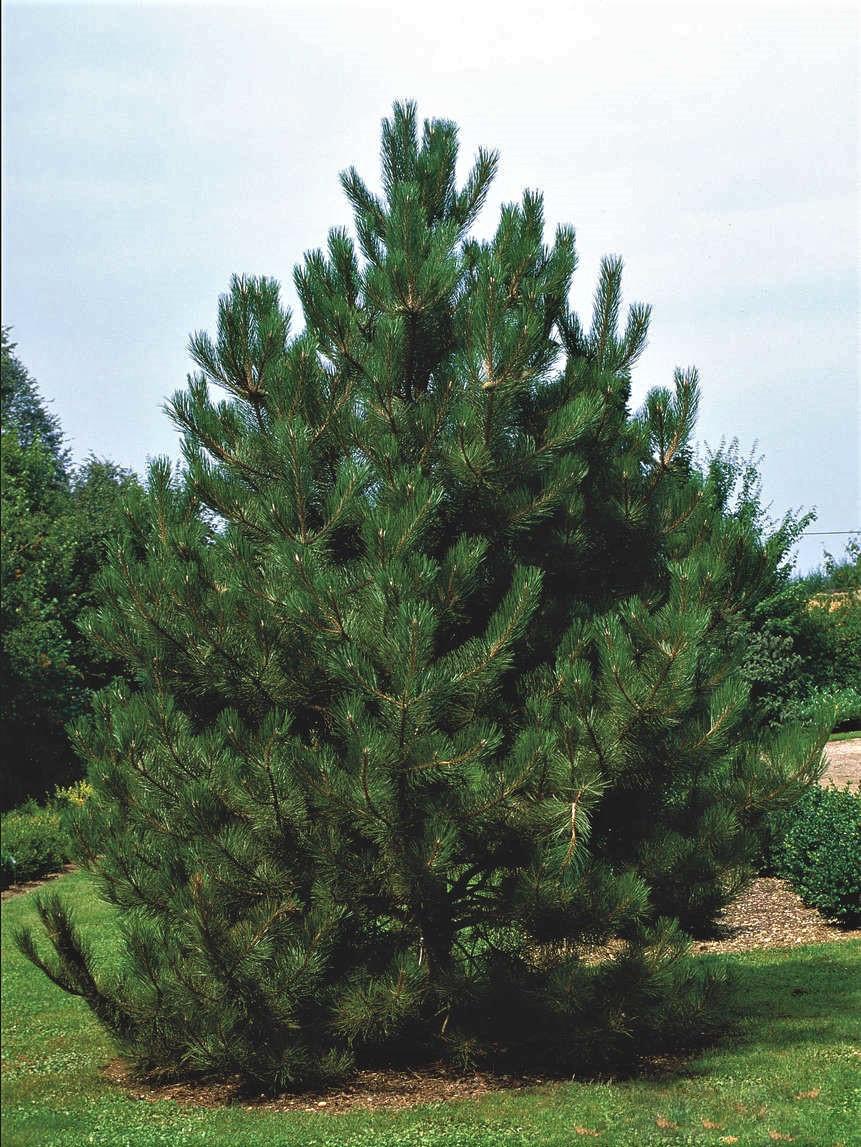Сосна чорна Аustriaca 2 річна, Сосна черная Австрийская, Pinus nigra var. austriaca