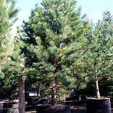 Сосна чорна Аustriaca 2 річна, Сосна черная Австрийская, Pinus nigra var. austriaca, фото 3