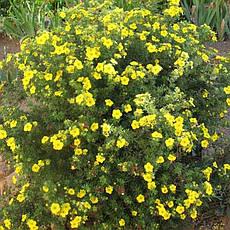 Лапчатка кущова Goldfinger 3 річна, Лапчатка кустарниковая Голдфингер, Potentilla fruticosa Goldfinger, фото 2