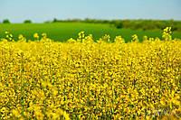 Семена озимого рапса Онтарио под Раундап