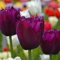 Луковицы тюльпанов Керли Сью (Curly Sue),  3 шт