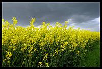 Семена рапса Шербрук, Seed Grain Company
