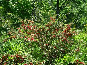 Шефердія канадська 3 річна, шефердия канадская, Shepherdia canadensis, фото 3
