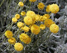 Сантоліна кипарисоподібна 2 річна, Сантолина кипарисовидная, Santolina chamaecyparissus, фото 2