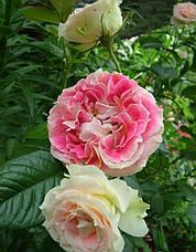 Роза Цезарь (Cesar) Плетистая, фото 3