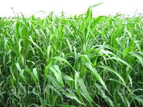 Суданка суданська трава насіння від 30кг