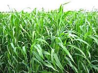 Суданка суданская трава семена от 30кг