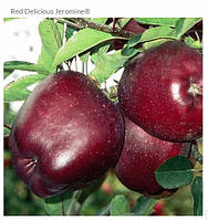 Джеромайн, Jerimine саженцы яблони на подвое ММ 106