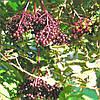 Бузина чорна Мадонна 2 річна, Бузина черная Мадонна, Sambucus nigra Madonna, фото 2
