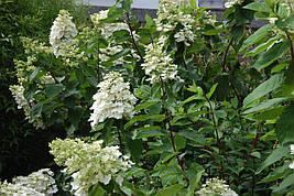 Гортензія морозостійка Kyushu 2 річна, Гортензия метельчатая Киушу, Hydrangea paniculata Kyushu, фото 2