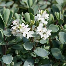 Хебе товстолиста 3 річна, Хебе толстолистная, Hebe pinguifolia, фото 3