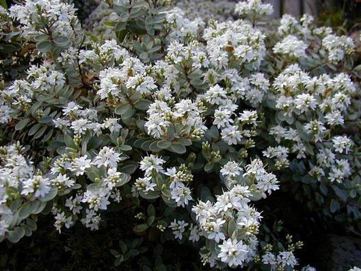Хебе товстолиста 3 річна, Хебе толстолистная, Hebe pinguifolia, фото 2