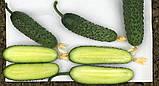 Насіння огірка Мадрилене F1 , 1000 насіння, фото 3