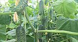 Семена огурца Мадрилене F1 , 1000 семян, фото 2
