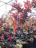 Барбарис Тунберга, Berberis thunbergii 'Atroupurpurea', 60 см