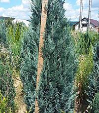 Кипарисовик Лавсона Blom 3 річний, Кипарисовик Лавсона Блом / Блум, Chamaecyparis lawsoniana Blom, фото 3