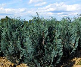 Кипарисовик Лавсона Blom 3 річний, Кипарисовик Лавсона Блом / Блум, Chamaecyparis lawsoniana Blom, фото 2
