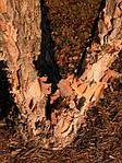 Береза черная, Betula nigra, 500 см, фото 2