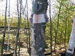 Береза черная, Betula nigra, 500 см, фото 3