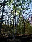 Береза черная, Betula nigra, 500 см, фото 4