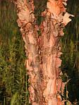 Береза черная, Betula nigra, 500 см, фото 5