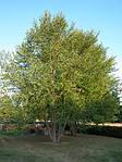Береза черная, Betula nigra, 500 см, фото 6