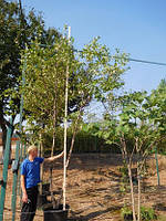 Береза чорная, Betula nigra, 400 см