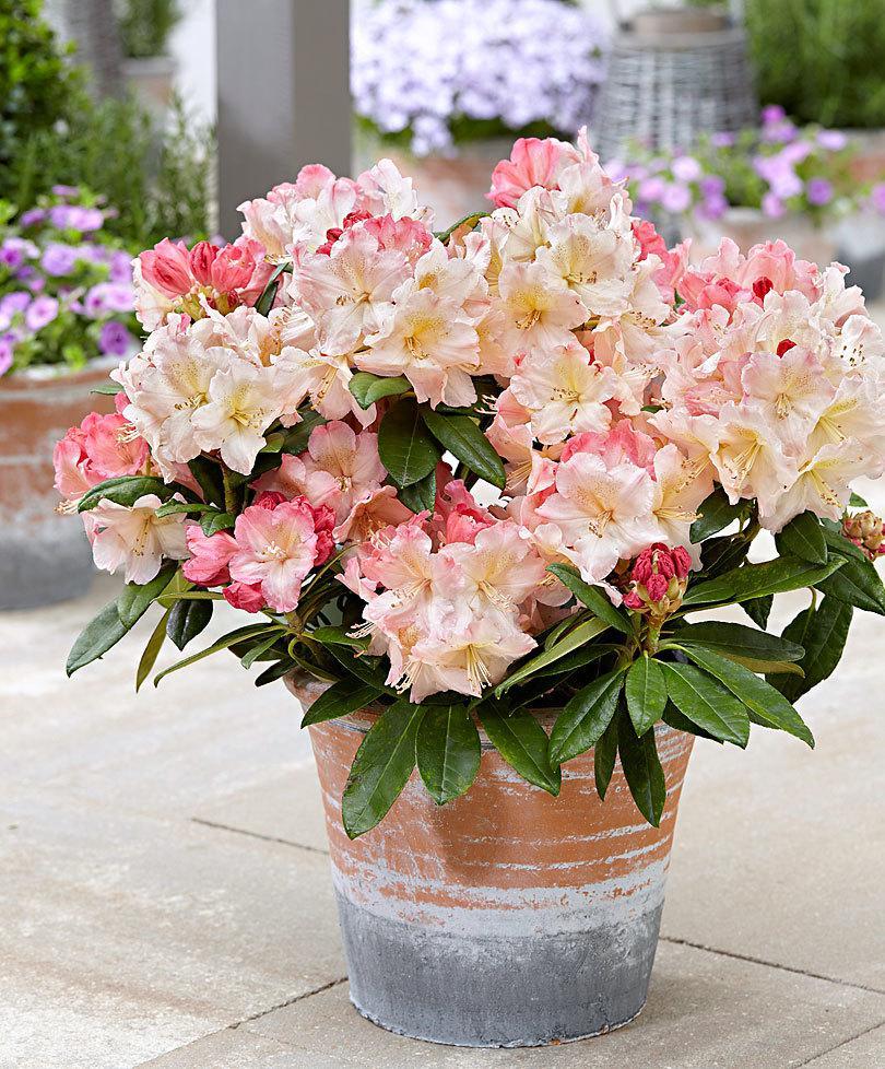 Рододендрон Percy Wiseman 2 річний, Рододендрон Перси Вайсман, Rhododendron Percy Wiseman