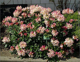 Рододендрон Percy Wiseman 2 річний, Рододендрон Перси Вайсман, Rhododendron Percy Wiseman, фото 2