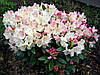 Рододендрон Percy Wiseman 2 річний, Рододендрон Перси Вайсман, Rhododendron Percy Wiseman, фото 3