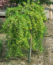 Карагана дерев'яниста Пендула 3 річна, Карагана древовидная Пендула, Caragana arborescens pendula, фото 2