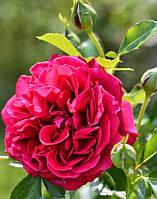 Роза английская Король Артур (King Arthur)