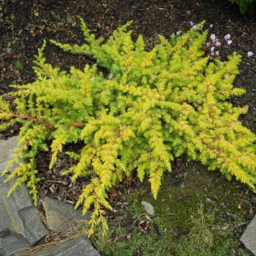 Ялівець прибережний All Gold 3 річний, Можжевельник прибрежный Олл Голд,  Juniperus conferta All Gold