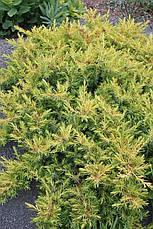 Ялівець прибережний All Gold 3 річний, Можжевельник прибрежный Олл Голд,  Juniperus conferta All Gold, фото 3