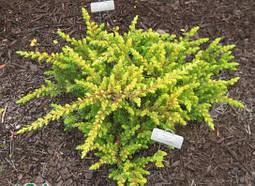 Ялівець прибережний All Gold 3 річний, Можжевельник прибрежный Олл Голд,  Juniperus conferta All Gold, фото 2