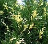 Ялівець козацький Variegata 3 річний, Можжевельник казацкий Вариегата, Juniperus sabina Variegata, фото 2