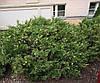 Ялівець козацький Variegata 4 річний, Можжевельник казацкий Вариегата, Juniperus sabina Variegata, фото 3