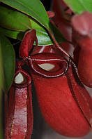 "Растение хищник Непентес ""Bloody Marry"" (Nepenthes ""Bloody Marry"")"