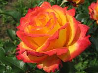 Роза плетистая Color Miracle