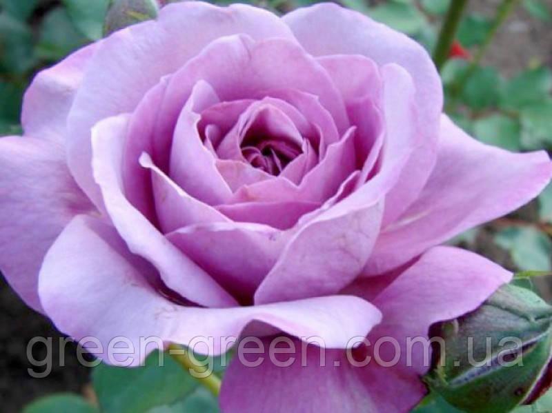 Роза Blue Parfum, саженец