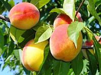 Персик поздний Сказка