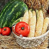 Семена сладкой кукурузы РАКЕЛЬ F1, 5000 семян, фото 2