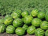 Семена арбуза Топ Ган F1, 1000 семян, фото 2