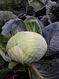 Семена капусты Кататор F1 / Кatator F1, 2500 семян, фото 2