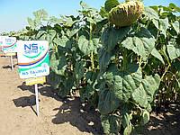 Семена подсолнечника НС Таурус (Под Евролайтинг)